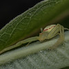 Crab spider hunting on milkweeed leaf.