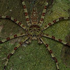 "Huntsman spider Commonly called ""lichen spider."""