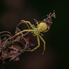 Crab spider on dock plant