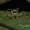 Jumping spider with exotic moustache