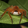 Huntsman spider with egg case, Sarawak.