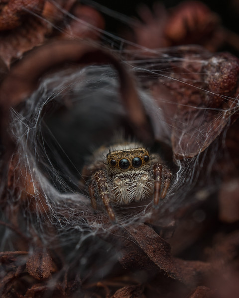 Jumping spider in nest, Virginia.