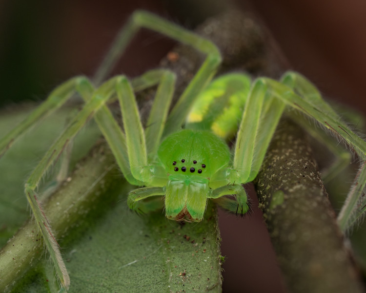 Sparassidae, genus Caayguara suspected. One of many extraordinary spiders I found a couple of hours from Iquitos.