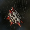 Spiny orb weaver, Florida
