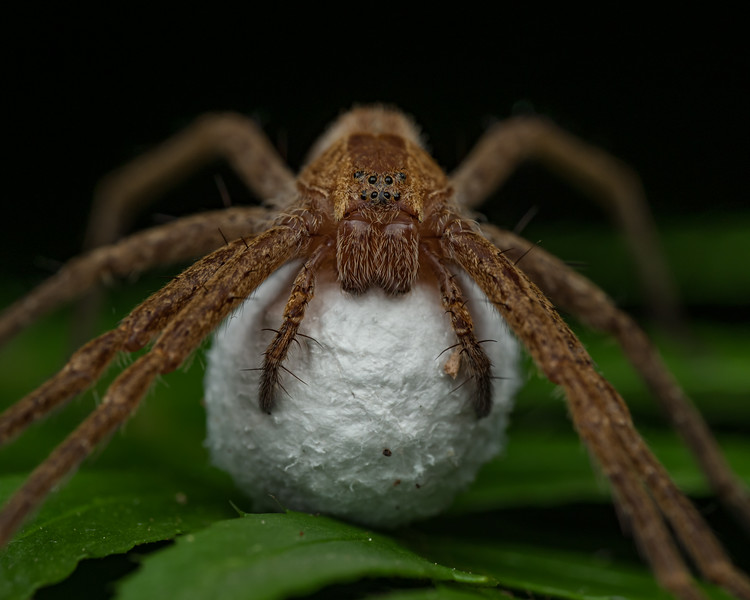Nursery web spider carrying egg sac.