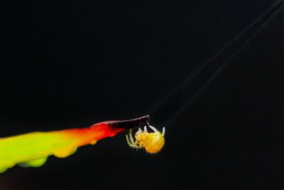 Baby Spider (2) By Bruno SUIGNARD