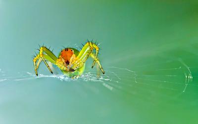 Araniella cucurbitina - Cucumber green Spider