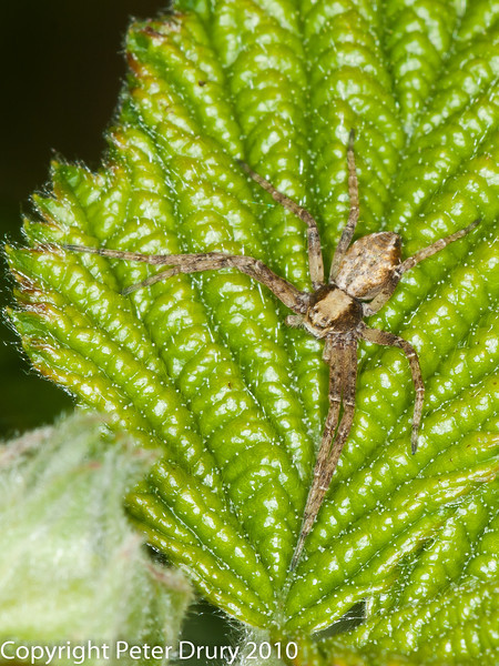 18 May 2010 - Philodromus sp. Copyright Peter Drury 2010