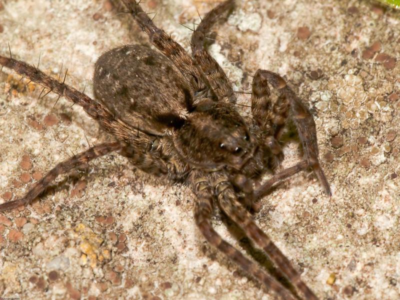 Wolf Spider (Lycosidae sp). Copyright Peter Drury 2010