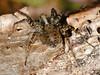 Wolf Spider (Pardosa lugubris)  - female. Copyright Peter Drury 2010