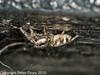 20 Sep 2010 - Zebra Spider (Saticus scenicusI at Widley. Copyright Peter Drury 2010