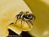23 March 2011. Zebra spider at Widley.  Copyright Peter Drury 2011