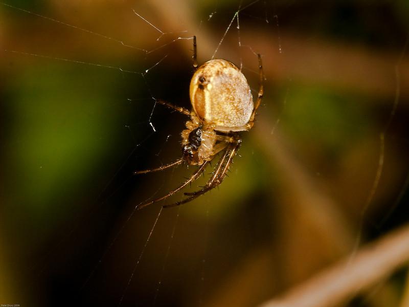 Stretch Spider (Meta segmentata). Copyright 2009 Peter Drury