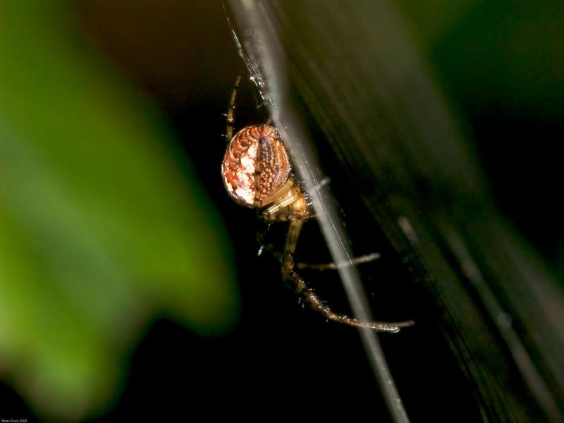 Orb-weaving spiders (Metellina segmentata). Copyright 2009 Peter Drury
