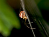 Orb-weaving spiders (Metellina segmentata). Copyright 2009 Peter Drury
