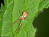 24 April 2011. Long-jawed orb weaver (Metellina mengei) at Creech Wood. Copyright Peter Drury 2011
