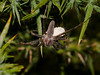 Spider (Pisaura mirabilis). Copyright 2009 Peter Drury<br /> Female, having been disturbed carries its egg bundle under it to afford protection.<br /> Bere Regis