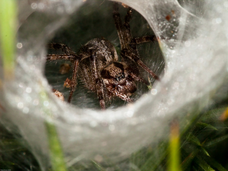 Spider (Agelena labyrinthica). Copyright 2009 Peter Drury<br /> Male in its tunnel retreat. <br /> Bere Regis, Dorset