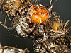 Common Garden Spider (Araneus diadematus) Gravid female. Copyright Peter Drury 2009