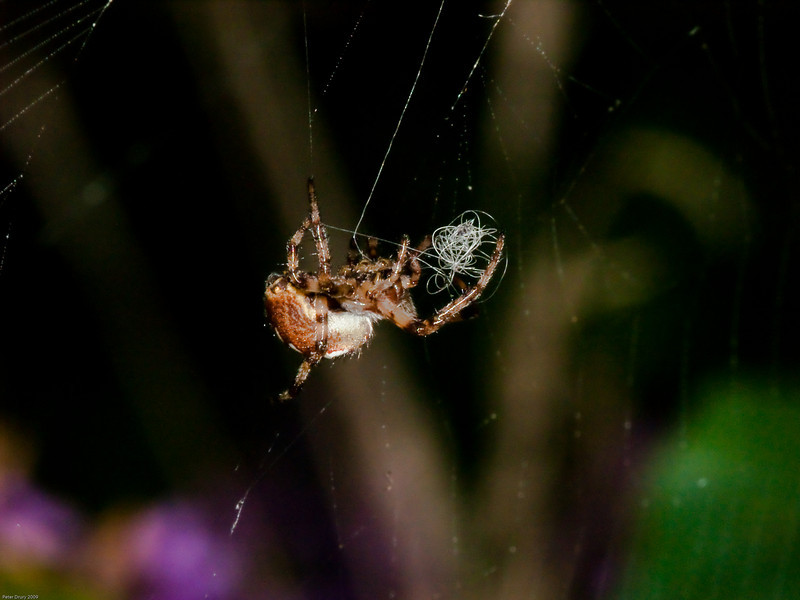 Spider wrapping up and insect in its web. Copyright 2009 Peter Drury<br /> Bere Regis, Dorset