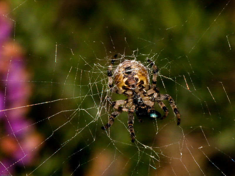 Spider attacking a leaf beetle in its web. Copyright 2009 Peter Drury