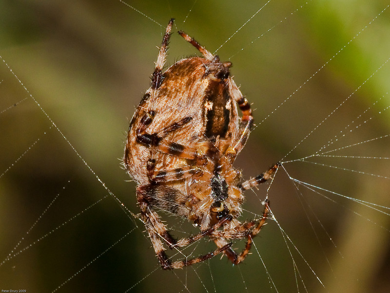 Garden Spider (Araneus diadematus). Copyright 2009 Peter Drury<br /> Spider at rest on the web. Note that a leg is positioned on each radial line outward. If an insect strikes the web then the vibrations are instantly transmitted to the spider alerting it to a potential meal.