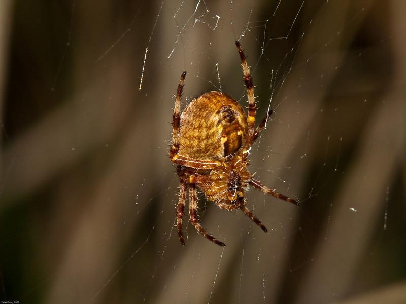 Common Garden Spider (Araneus diadematus). Copyright 2009 Peter Drury