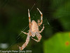 Spider for ID. Copyright Peter Drury 2010