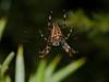 Garden Spider (Araneus diadematus). Copyright 2009 Peter Drury<br /> Bere Regis, Dorset