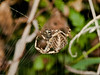 Garden Spider (Araneus diadematus). Copyright 2009 Peter Drury<br /> The spider has rushed out to secure a new victim. .