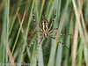 11 Aug 2010 - Wasp Spider (Argiope bruennichi). Copyright Peter Drury 2010<br /> Underside view