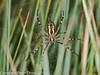 11 Aug 2010 - Wasp Spider (Argiope bruennichi). Copyright Peter Drury 2010<br /> Underside view