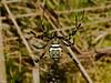 Wasp Spider (Argiope bruennichi. Copyright 2009 Peter Drury
