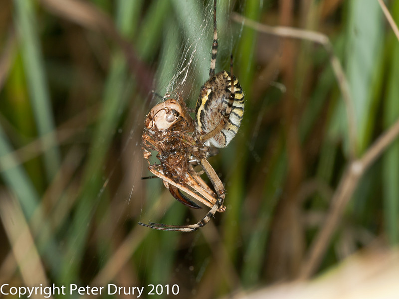 11 Aug 2010 - Wasp Spider (Argiope bruennichi). Copyright Peter Drury 2010<br /> With cricket prey.