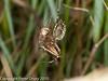 11 Aug 2010 - Wasp Spider (Argiope bruennichi). Copyright Peter Drury 2010<br /> With cricket prey.