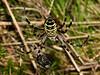 Wasp Spider (Argiope bruennichi). Copyright 2009 Peter Drury