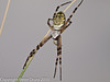 11 Aug 2010 - Wasp Spider (Argiope bruennichi). Copyright Peter Drury 2010<br /> Top view.