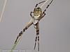 11 Aug 2010 - Wasp Spider (Argiope bruennichi). Copyright Peter Drury 2010<br /> Top view.