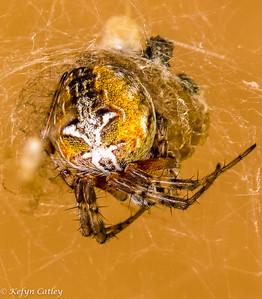 ARANEAE: Araneidae: Metepeira labyrinthea, labyrinth orbweaver