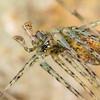 ARANEAE: Hypochilidae: Hypochilus pococki, lampshade male showing palps