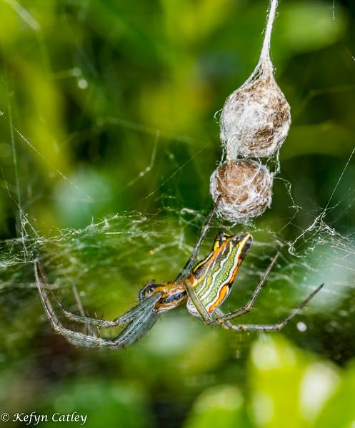 ARANEAE: Araneidae: Mecynogea lemniscata, basilica orbweaver