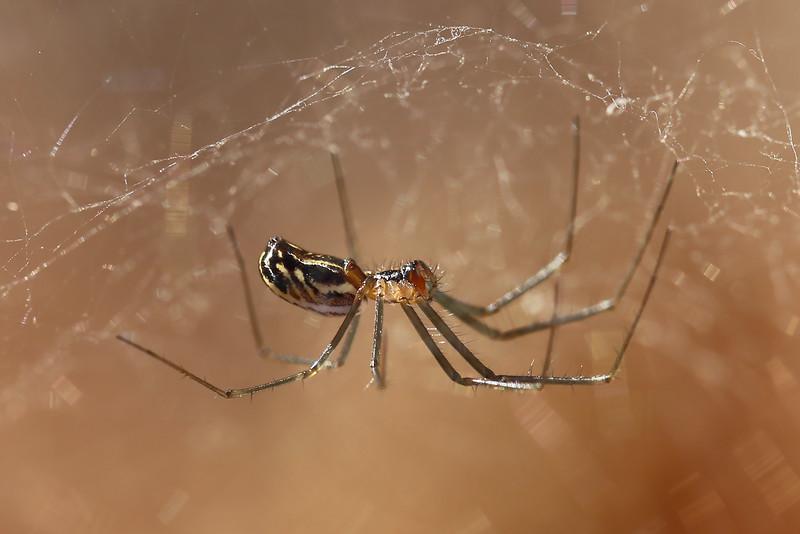 Sheetweb Spider (Linyphiinae)