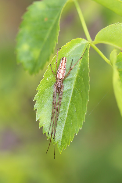Long-Jawed Orb Weaver (Tetragnathidae)