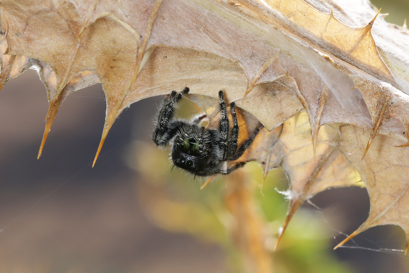 Jumping Spider (Salticidae)