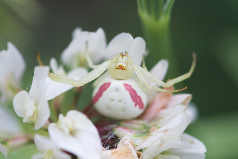 Flower Crab Spiders (Misumena)