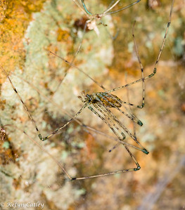 ARANEAE: Hypochilidae: Hypochilus pococki, lampshade spider male