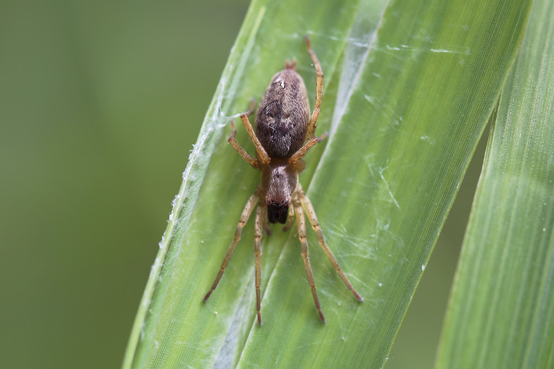 Unidentified Spider (Araneae)