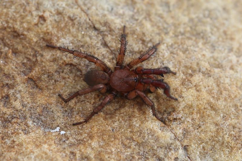 Trapdoor Spider (Ctenizidae)