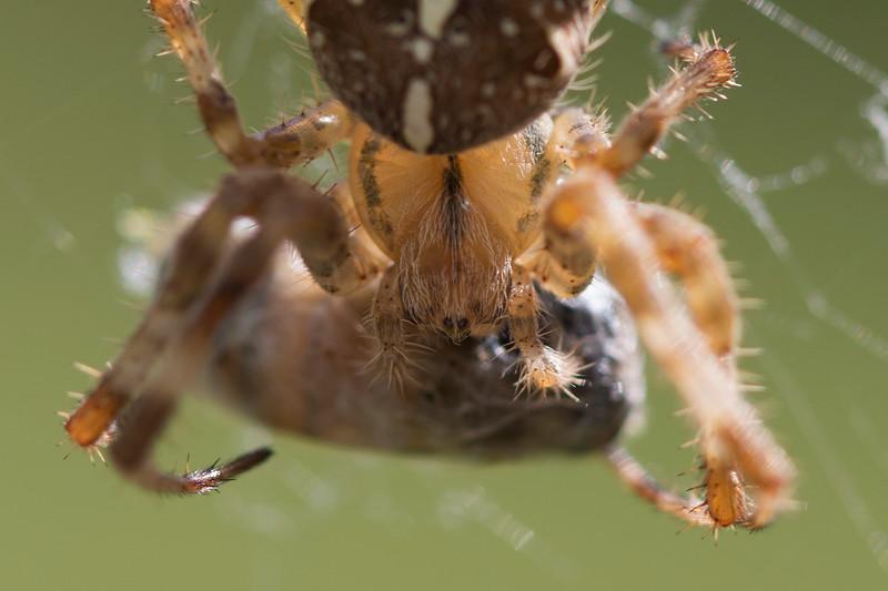 Orb Weaver (Araneidae)