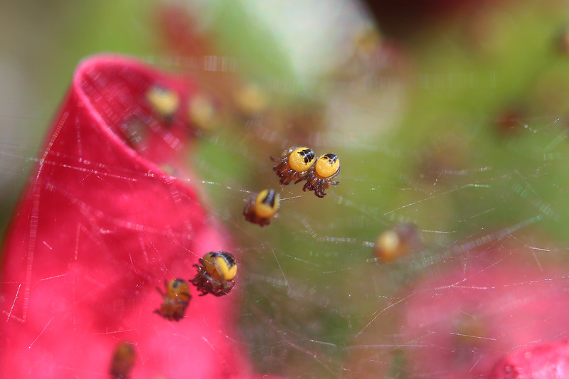 Orb Weaver Spiderlings (Araneidae)
